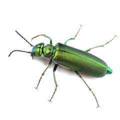 Spanish-fly-1000x1000.png